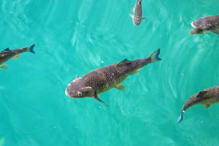 Big trout swimming in crystal clear water of Plitvice Lakes Stock Photo