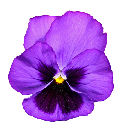 Closeup of beautiful two-color pansy flower, isolated on white background 写真素材