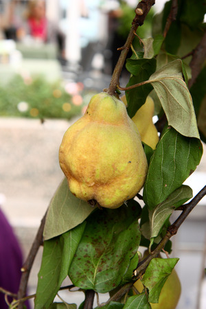 Ripe quince fruit on the branch, closeup Stock Photo