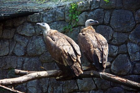 The griffon vulture (gyps fulvus) is a large Old World vulture