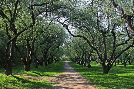 Apple tree alley in Kolomenskoye Park spring in Moscow photo