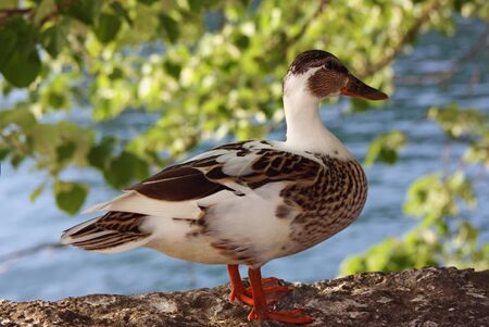 parapet: The duck stands on a parapet at river bank Stock Photo