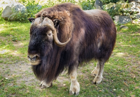 Muskox in Moscow zoo.The muskox is an Arctic mammal of the family Bovidae