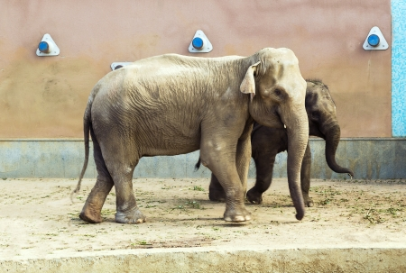 Indian elephant and small elephant calf in Moscow zoo photo