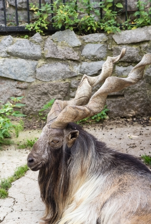 Markhor in Moscow zoo in summer photo