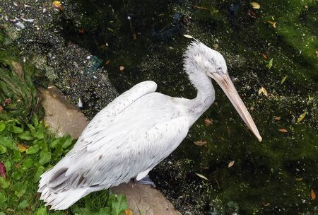 Dalmatian Pelican in Moscow zoo in summer photo
