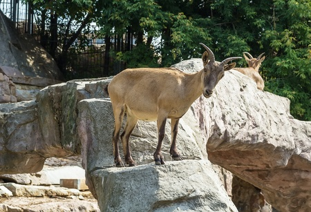 Bighorn sheep in Moscow zoo in summer photo