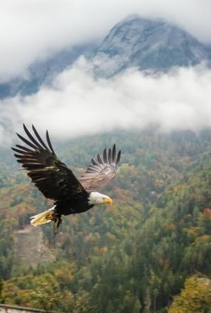 halcones: �guila calva en vuelo cerca Hohenwerfen Foto de archivo