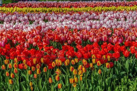 keukenhof: flowerbed with tulips in Keukenhof garden, Netherlands