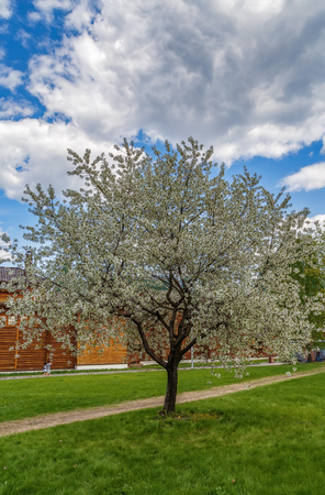 Cherry Blossom  in the spring garden, Moscow, Russia