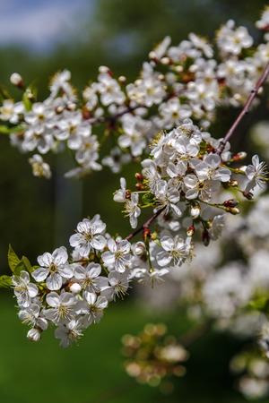 Blossoming cherry branch in the spring garden, Moscow Lizenzfreie Bilder
