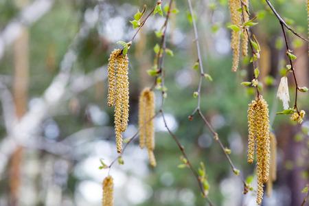 birch blossom close up