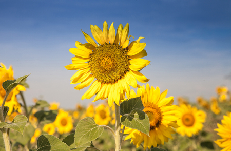sunflower on field close up Imagens