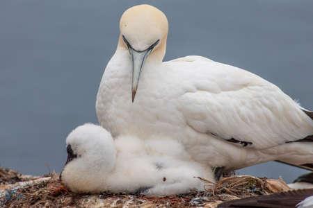 Seabirds breed in Heligoland Imagens