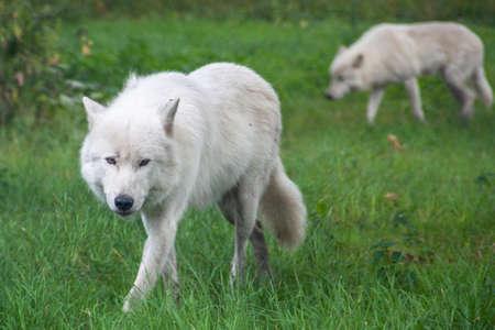 Im Knuthenborg Safari Park in Dänemark kommt man den Weißen Wölfen ganz nah.