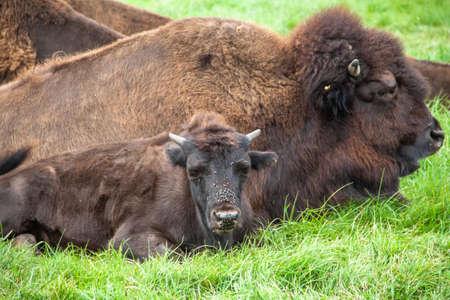 Im Knuthenborg Safari Park in Dänemark lebt auch eine Bisonherde. Stock Photo