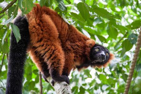 Lemuren im Knuthenborg Safari Park in Dänemark Standard-Bild - 107430231