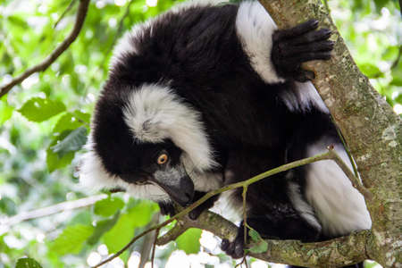 Lemuren im Knuthenborg Safari Park in Dänemark Standard-Bild - 107430232