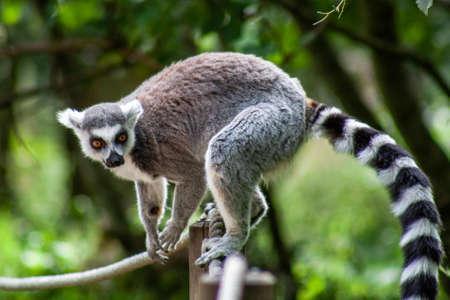 Lemuren im Knuthenborg Safari Park in Dänemark Standard-Bild - 107430235