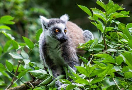 Lemuren im Knuthenborg Safari Park in Dänemark