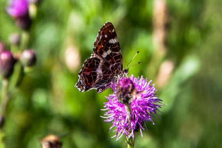 Ein Schmetterling sitzt auf einer Blume am Rothaarsteig zwischen Bad Berleburg und Schmallenberg. Standard-Bild - 108831208