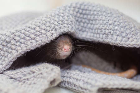 The nose of a gray domestic rat sticks out of a gray sweater. The rat hid in a knitted shelter Standard-Bild