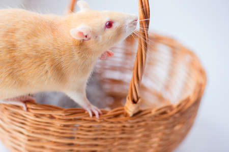 The red decorative rat smells a wattled basket