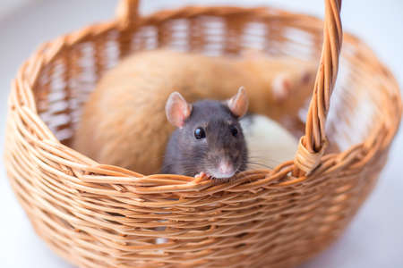 The gray rat a dam looks out of a wattled basket. Symbol of year Standard-Bild