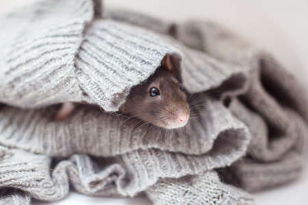 The domestic decorative rat muffled in a knitted gray sweater and is heated. Year of a rat 2020 Standard-Bild