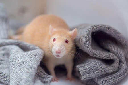 The red decorative rat with red eyes sits in a knitted gray sweater. Year of a rat Standard-Bild
