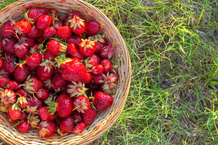 Ripe red strawberries in a wicker basket on green grass, top view. Summer still life. Space for text 免版税图像