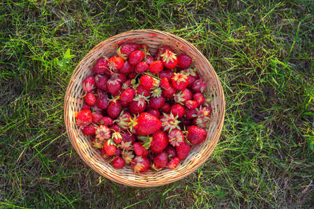 Ripe red strawberries in a wicker basket on green grass, top view. Summer still life. 免版税图像