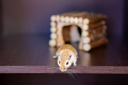 A gerbil runs on a shelf against the background of a wooden house. Red mustache rodent with mustache