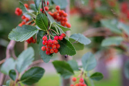 Red small berries such as viburnum or hawthorn on a tree branch