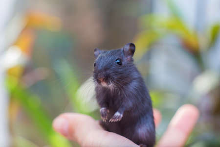 The black mouse gerbil sits on a hand. Keeping of rodents in house conditions. Pet 免版税图像