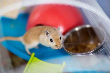 The red domestic mouse gerbil sits in the cage near a feeding trough with food. Stock Photo