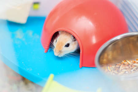 The red domestic mouse gerbil sits in the cage in a red plastic lodge. Pet 免版税图像