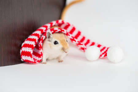 The Mongolian gerbil sits on a white background in a Christmas red-white scarf pompons 免版税图像