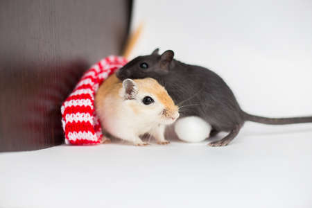 Couple of Mongolian gerbils sit on a white background in a Christmas red-white scarf