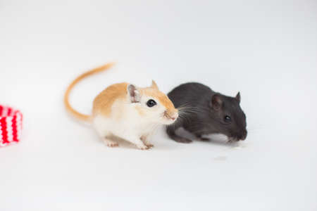Couple of Mongolian gerbils black and brown sit on a white background. Lovely domestic mice rodents 免版税图像