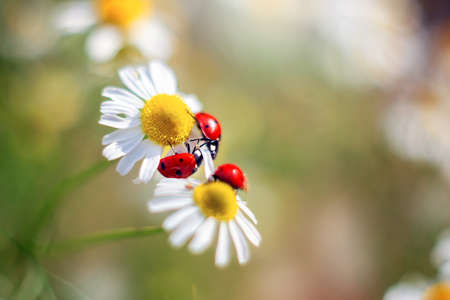 Three red ladybugs are sitting on a camomile. Tender summer natural still life for postcards