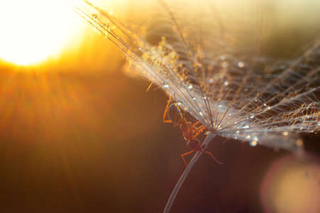An ant is crawling on a dandelion parachute on the background of sunset. Insect macro. Reklamní fotografie