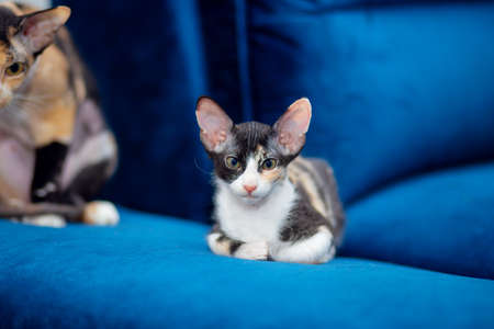 Sphynx mestizo kitten sits on the couch. Tricolor kitten with big ears, brush sphinx. Sphinx with wool Stok Fotoğraf