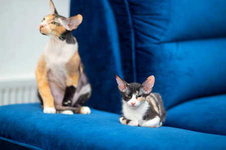 A cute Sphynx mestizo kitten lies on the couch next to her mother. Tricolor kitten with big ears, brush sphinx. Sphinx with wool