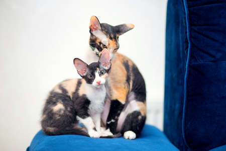 Two tricolor Sphynx cats with fur are sitting on the sofa. Mom and kitten. Brash cats with big ears Stok Fotoğraf