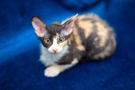 Cute kitten mestizo Sphynx sits on the couch. Tricolor kitten with big ears, brush sphinx. Sphinx with wool