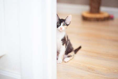 Sphynx mestizo kitten peeps around the corner. Tricolor kitten with big ears, brush sphinx. Sphinx with wool Stok Fotoğraf