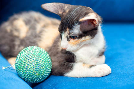 Tricolor Sphynx kitten sits on the couch and plays with a Christmas ball. New year is approaching Stock Photo