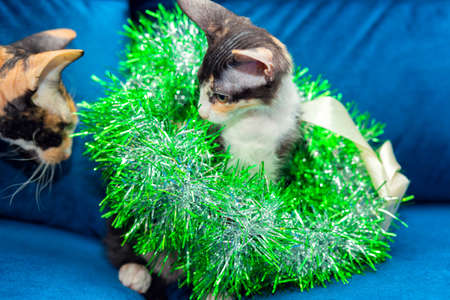 Funny tricolor sphinx kitten sits in a Christmas wreath of green tinsel Stock Photo