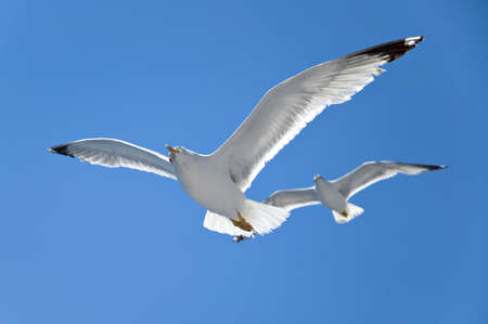 seagull in flight Stock Photo - 3258496